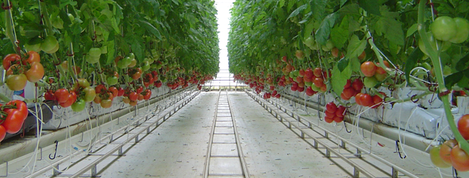 Benefits Of Growing Crops In Hydroponic